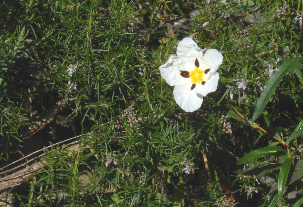 Jara pringosa growing among rosemary.
